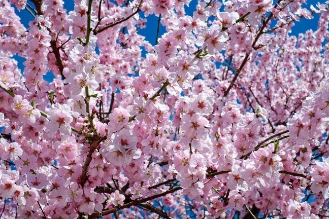 japanese-cherry-trees-2168858_960_720