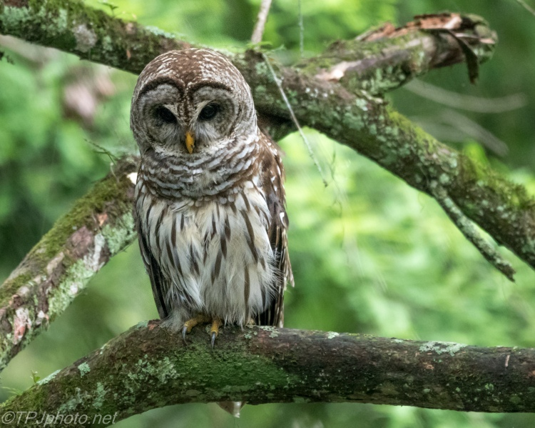 Barred Owl Fishing - Click To Enlarge