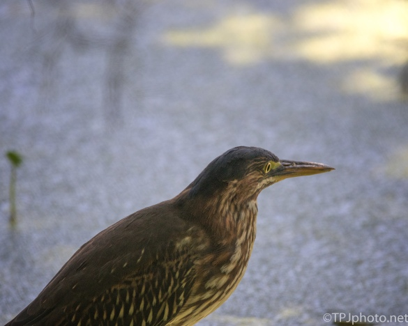 Green Heron Close Up - Click To Enlarge