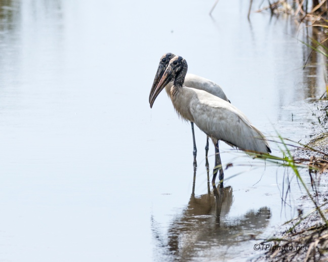 Wood Storks Are Here - Click To Enlarge