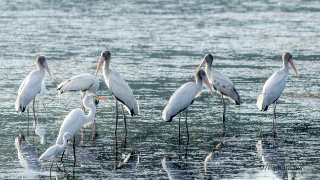 Wood Storks Gathering - Click To Enlarge