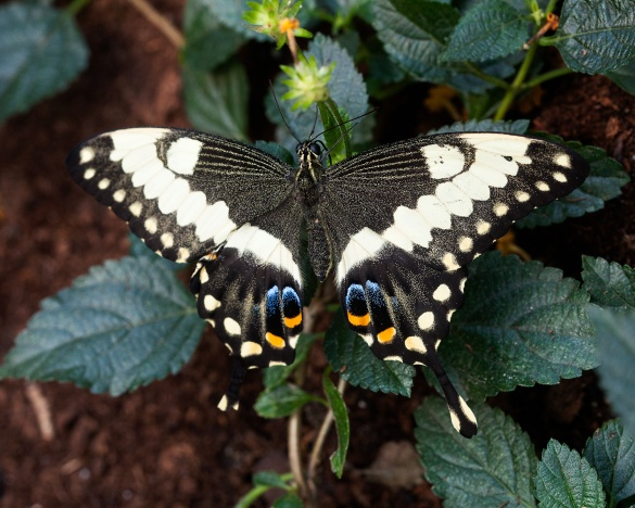 20130309-Giant-Swallowtail_MG_5457