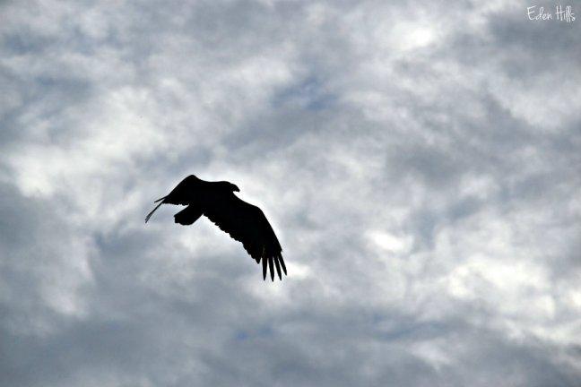 vulture_0042ew