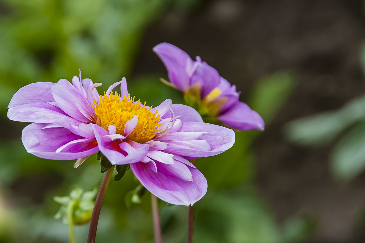 Flower of the Day – September 23 2017 – Dahlia – All About Writing and more