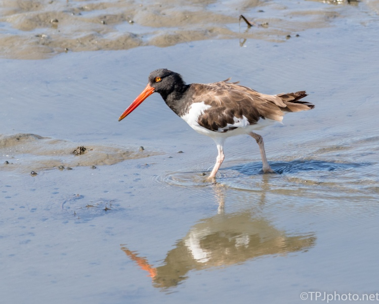 Oyster Catcher Passing By - Click To Enlarge