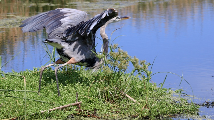 Leaving Suddenly, Great Blue Heron - Click To Enlarge
