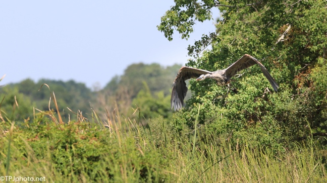 Great Blue Heron, Playing Chicken - Click To Enlarge