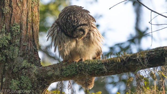Rough Night Out, Barred Owl - Click To Enlarge