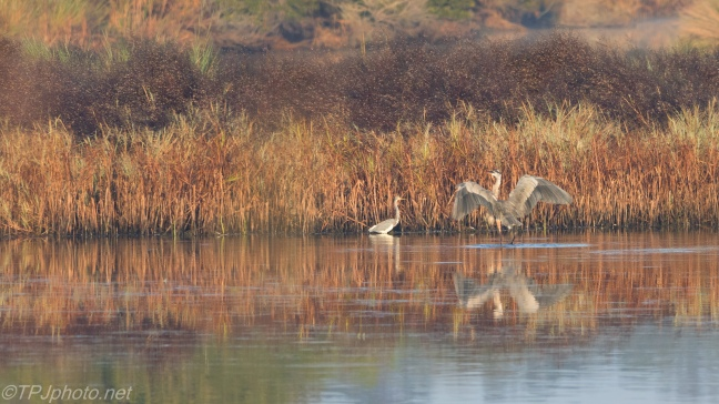 Morning Herons - click to enlarge