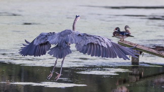 Great Blue Heron Taking Over - Click To Enlarge