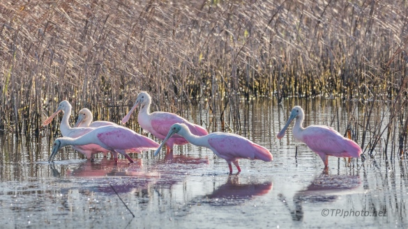 Walking The Marsh, Spoonbills - click to enlarge