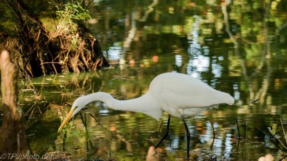 Great Egret, Swamp - click to enlarge
