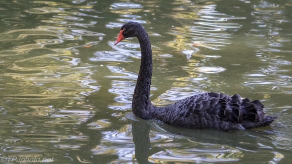 Black Swan - click to enlarge