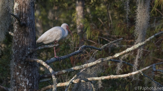 Ibis In The Woods - click to enlarge