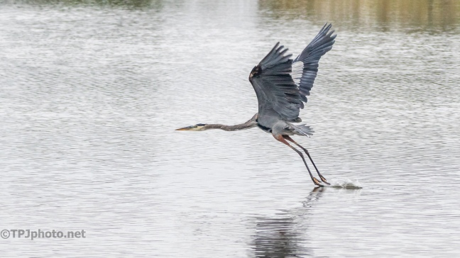 Graceful, Great Blue Heron - click to enlarge