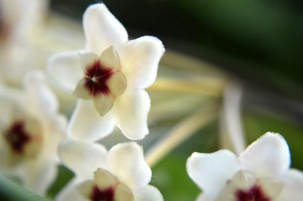 Porcelainflower