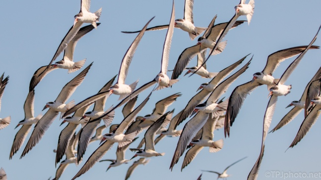 Black Skimmer Fly By - click to enlarge