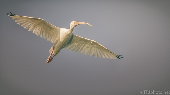 White Ibis Late In The Day - click to enlarge