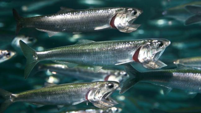 northern_anchovy