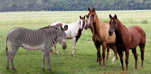 zebra-and-horses