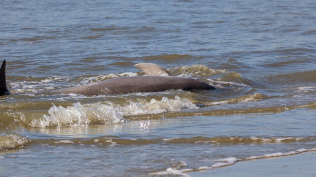 600 Pounds Hitting The Beach, Dolphin, click to enlarge
