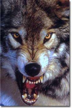 2e44ec68b34e54df9c60d3de292586dd--flash-tattoos-angry-wolf