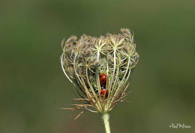 two rebel ladybugs