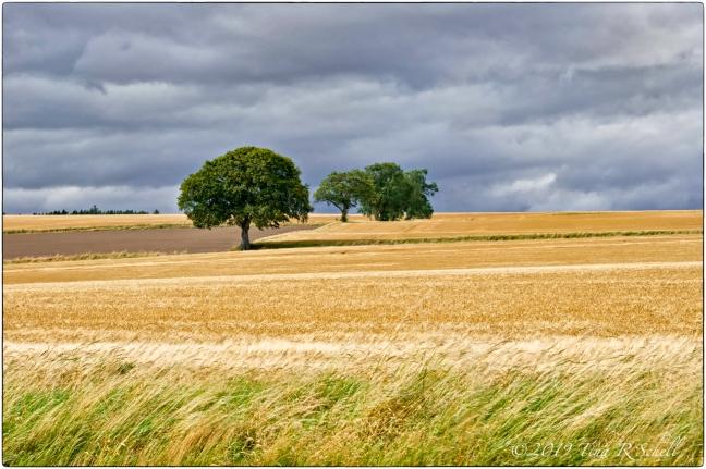 golden fields, green trees, dark sky