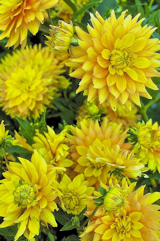 ceenphotography.com, FOTD, flower of the day, Cee Neuner, photography, bud, dahlias, yellow, green